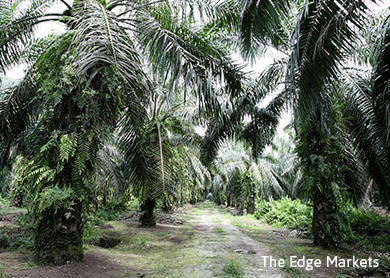 Palm oil industry in malaysia and indonesia