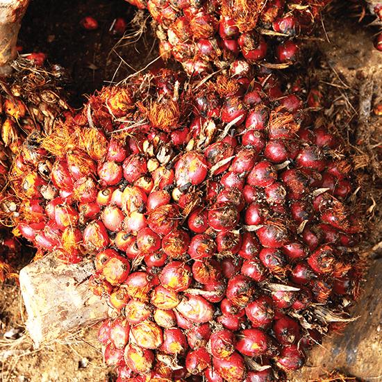 palm-oil_elnino_theedgemarkets