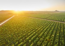 TFS's Indian Sandalwood plantation in Kununurra, Australia